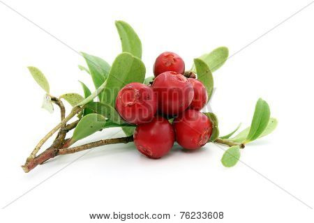Twig Of Ripe Cowberry