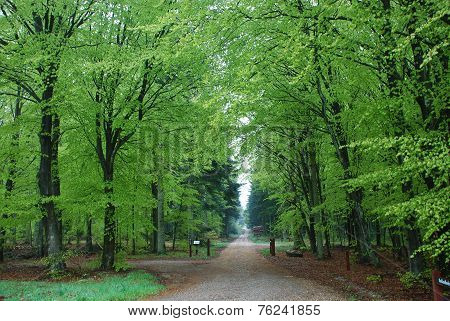 The beech forest stands dressed in her beautiful pale green color. The road goes through this idyll.