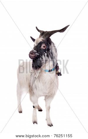 Gray dvarf goat on white