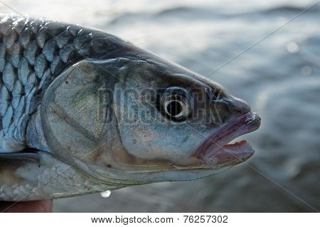 Chub head against water background, close-up