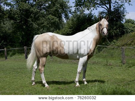 Horse Palomino Portrait