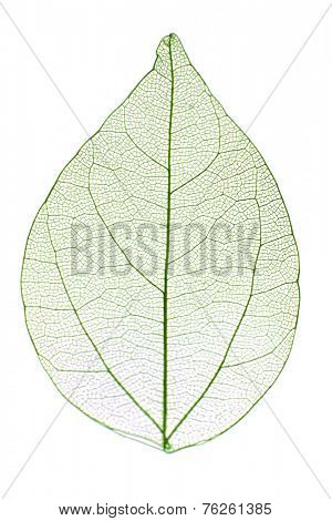 Decorative skeleton leaf isolated on white