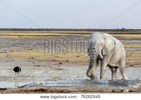 White African Elephants