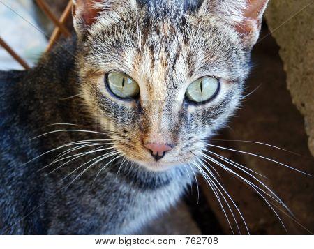 Amon Ra cat