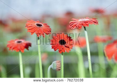 Red Gerbera Flowers With Other Flowers In Background
