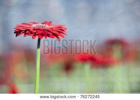 Single Red Gerbera With Other Flowers In Background