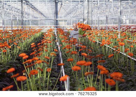 Man Picks Flowers In Greenhouse