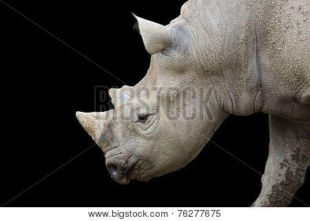 Rhinocerous Closeup