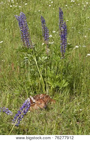 Fawn Curled up in Wildflowers