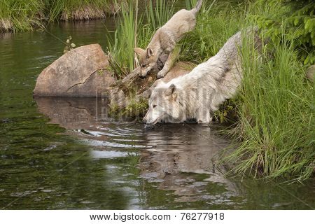 Wolf and Pup Drinking from Lake