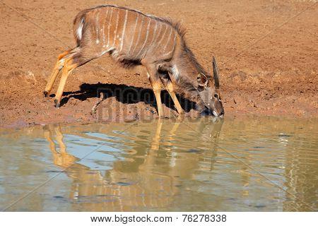 Male Nyala antelope (Tragelaphus angasii) drinking water, Mkuze game reserve, South Africa