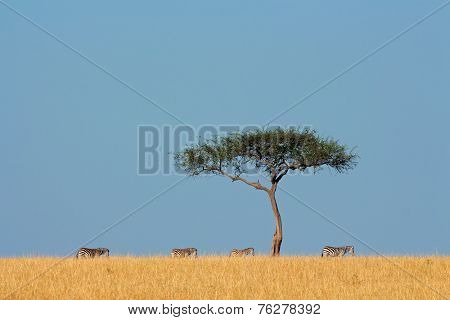 Plains zebras (Equus burchelli) and tree, Masai Mara National Reserve, Kenya
