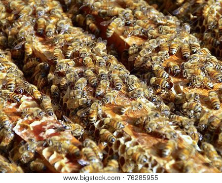 The closeup view of honey bees