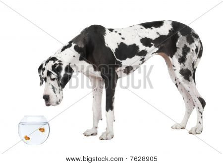 Great Dane Looking At Goldfish In Fish Bowl In Front Of White Background, Studio Shot