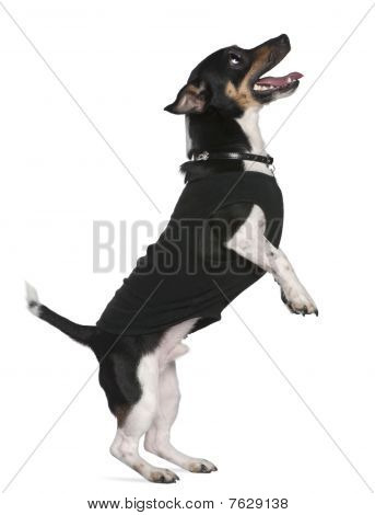 Jack Russell Terrier Standing On Hind Legs Looking Up, 2 And A Half Years Old, In Front Of White Bac