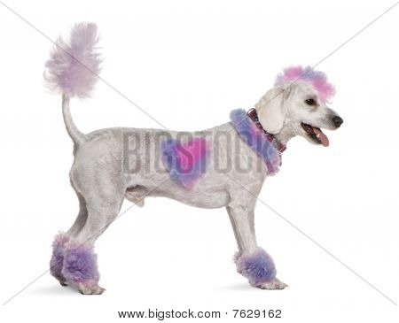 Groomed Poodle With Pink And Purple Fur And Mohawk, 1 Year Old, Standing In Front Of White Backgroun