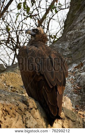 Vulture Is Sitting On The Rock
