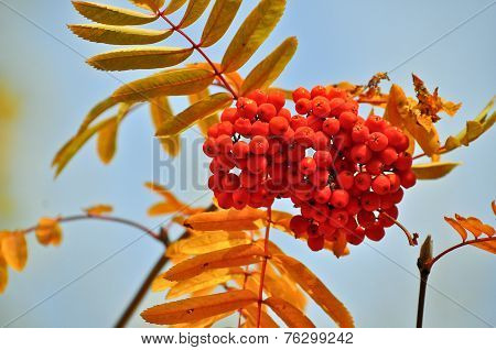Rowan In October Against The Sky.