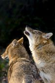 stock photo of jackal  - Golden jackals (Canis aureus) in a forest