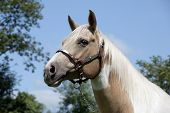 picture of paint horse  - Horse head with fine bridle portrait Palomino paint - JPG