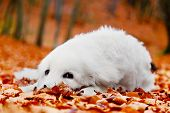 picture of puppy eyes  - Cute white puppy dog lying in leaves in autumn - JPG