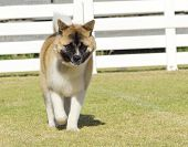 foto of pinto  - A portrait view of a sable white and brown pinto American Akita dog walking on the grass distinctive for its plush tail that curls over his back and for the black mask.