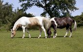 image of horses eating  - two horses eating grass in a pasture - JPG