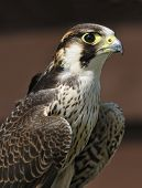 picture of small-hawk  - Barbary Falcon - Falco pelegrinoides