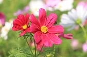 stock photo of cosmos flowers  - Cosmos flowers - JPG