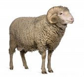 picture of ram  - Arles Merino sheep ram 3 years old standing in front of white background - JPG