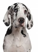 foto of great dane  - Great Dane puppy 6 months old in front of white background - JPG