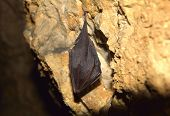 picture of greater  - Greater Horseshoe Bat  - JPG