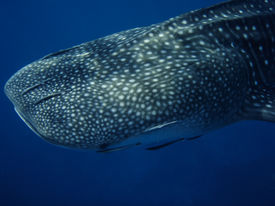 picture of gentle giant  - Whale shark close up in the wild Thailand  - JPG