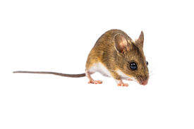 foto of field mouse  - Wood mouse with cute brown eyes looking in the camera on white background - JPG