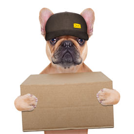 picture of bulldog  - postman french bulldog holding a shipping box isolated on white background - JPG