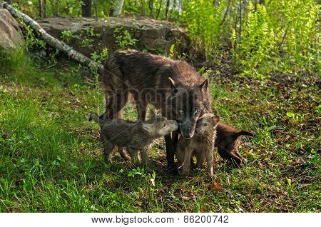 Black Wolf (canis Lupus) And Three Pups