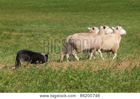 Stock Dog Herds Trio Of Sheep Right