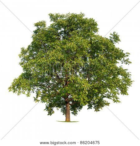Isolated walnut tree on a white background