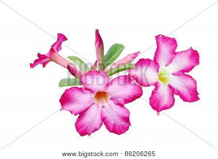 Adenium Obesum Flower