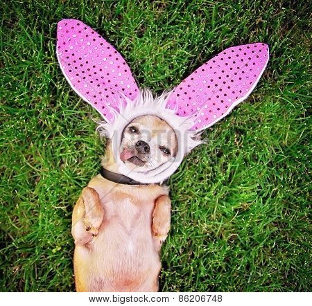 a cute chihuahua laying in the grass with his tongue out and bunny ears on laying in the grass