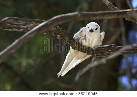 Young white tern sitting on a branch.