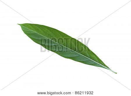 Great Morinda Leaf