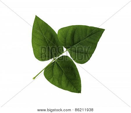 Green Leaf Of Winged Bean Isolated