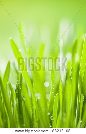Abstract green young barley background with water drops