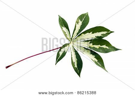 White And Green Leaf Cassava
