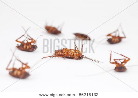 Cockroach Is Dead On White Background