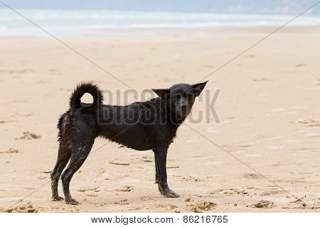 Poor And Dirty Homeless Dog Stanging On The Beach