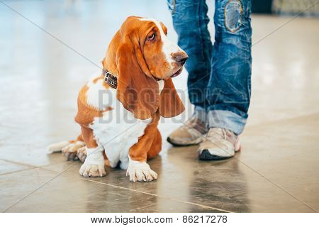 White And Brown Basset Hound Dog Portrait With Owner