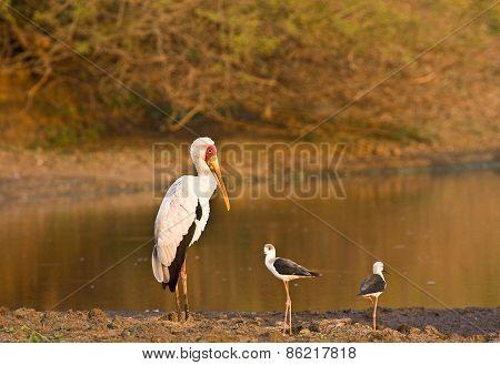 yellow billed stork, Mycteria ibis, Kruger