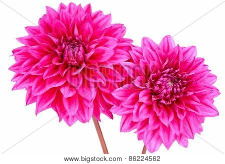 Dahlia, Pink Colored Flowers With Green Stems